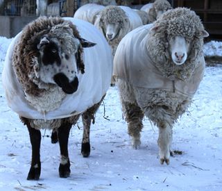 Sheep snow 2.foxfire fiber