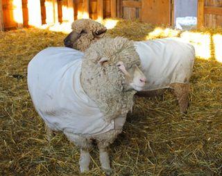 Ewes in waiting 2. foxfire fiber