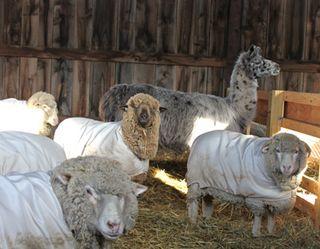 Ewes in waiting 3. foxfire fiber