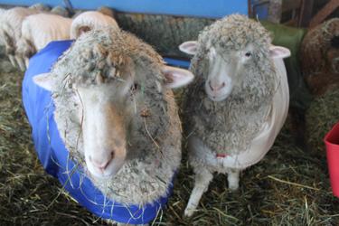 Lambs in sheep coats 3. foxfire fiber