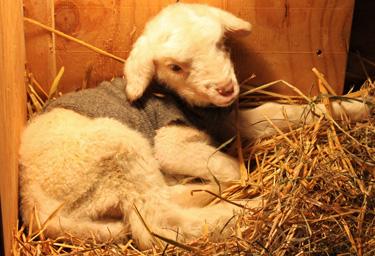 Newborn lamb in sweater.foxfirefiber