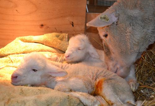 Twin cormo lambs 3