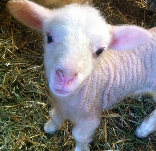 MacIntosh Lamb. foxfire fiber