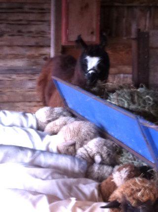 Llama sheep foxfire fiber