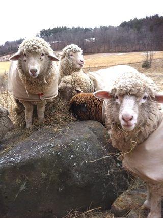 Lambs christmas