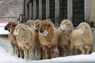 Foxfire fiber. sheep winter