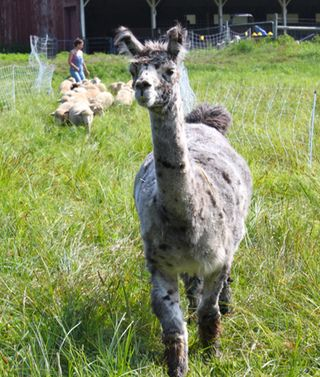 Foxfire fiber. crackerjack lambs 2010