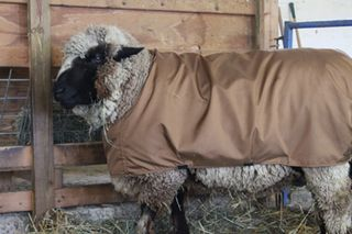 Cilantro's sheep suit