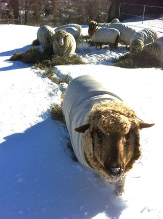 Sheep snow 2. foxfire fiber farm