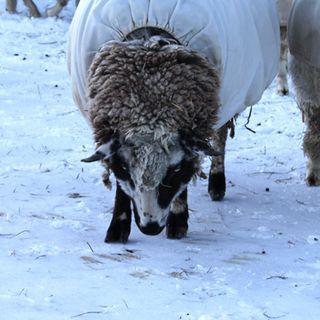Sheep snow 3. foxfire fiber