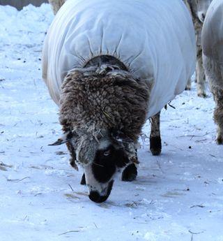 Sheep snow 4. foxfire fiber