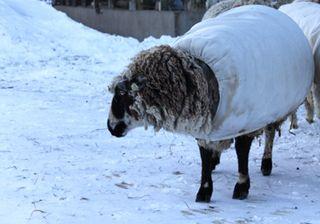 Sheep snow 5. foxfire fiber