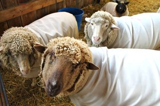 Ewes in waiting. foxfire fiber