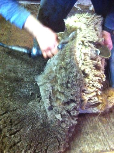 Shearing moorit ewe, foxfire fiber