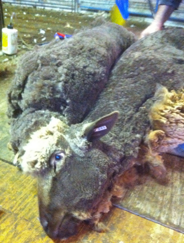 Sheep shorn.foxfire fiber