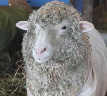 Lamb in sheep coate 2. foxfire fiber