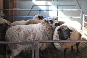 Sheep in holding pen on shearing day. Foxfire fiber