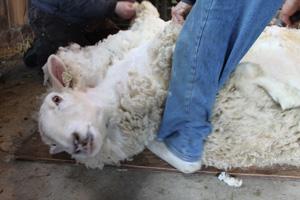 Clover on shearing day. foxfire fiber