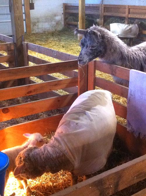 New lamb, llama. foxfire fiber