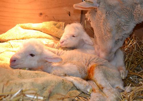 Twin cormo lambs 2