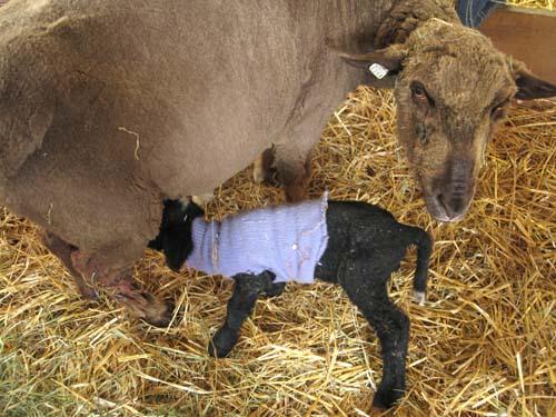 Lamb, bailey