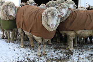 Sheep rugby ready. foxfire fiber