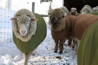 Sheep rugby ready 2.foxfire fiber