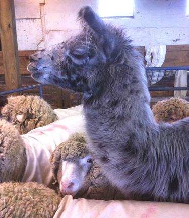 Llama, ewes, shearing day, foxfire fiber