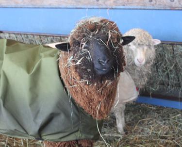 Lamb in sheep coat 1. foxfire fiber