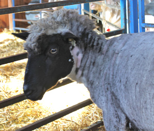 Sheep with mohawk.foxfire fiber