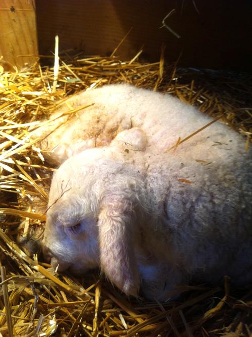 Newborn cormo lamb. first lamb 2011. foxfire fiber