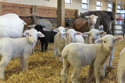 Rainy day lambs