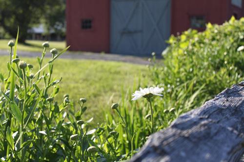 Summer garden barn.foxfire fiber farm