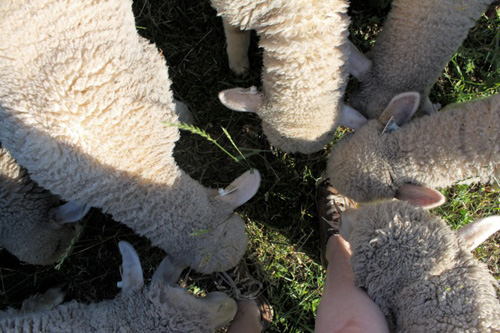 Lamb cluster.foxfire fiber farm