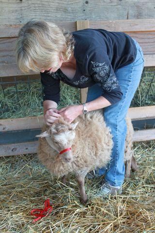 Shetland lamb in cat harness