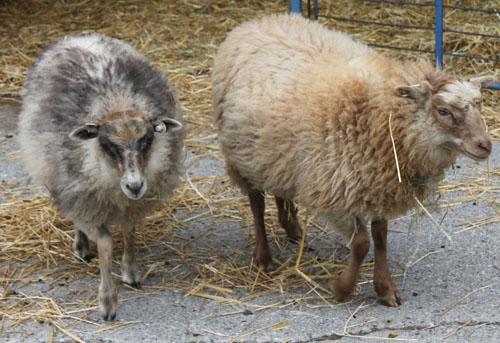 Sassy ginger shetland lambs