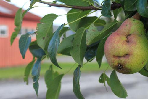 Pears 1. foxfire fiber