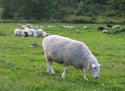 Sheep pears 2. foxfire fiber