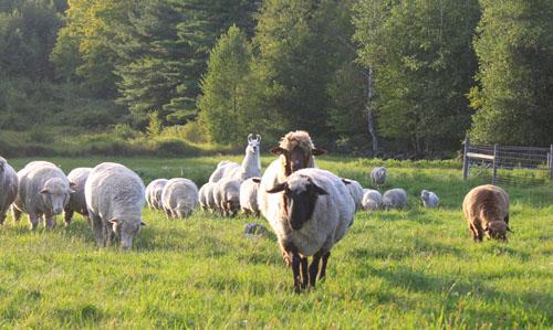 Sheep pears 4. foxfire fiber