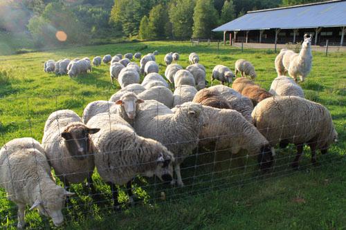 Sheep pears 5. foxfire fiber