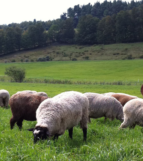 Fiber flock of sheep, foxfire fiber