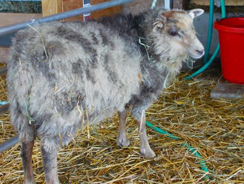 Sassafras shetland lamb
