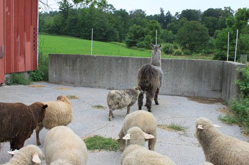 Lambs llama