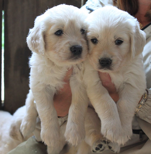 New puppies at springdelle farm. august 2011