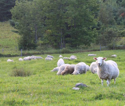 Sheep, pears 1. foxfire fiber