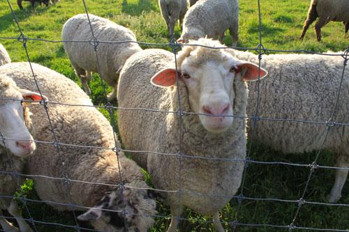 Sheep pears 6. foxfire fiber