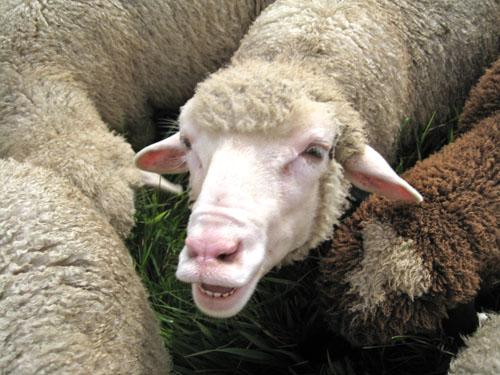 Smiling lamb. foxfire fiber
