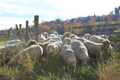 Sheep changing pastures 2. oct 2011