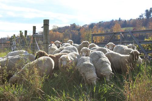 Sheep changing pastures 2. oct 2011