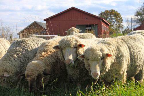 Sheep changing pasture 3. oct 2011